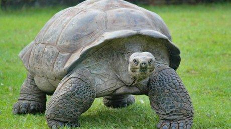 В Японии огромная черепаха, решившая прогуляться по взлетной полосе, задержала вылет пяти рейсов