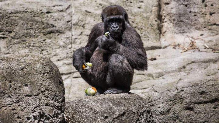 В зоопарке Атланты почти все гориллы заразились коронавирусной инфекцией